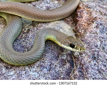 Yellow-bellied racer snake, Coluber constrictor