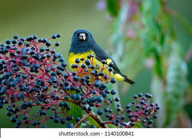 Yellow-bellied Siskin, Carduelis xanthogastra, tropical yellow and black bird eating blue fruit in the nature habitat, Savegre, feeding action scene with food from Costa Rica.