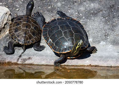 Yellow-bellied slider turtle. Reptile and reptiles. Amphibian and Amphibians. Tropical fauna. Wildlife and zoology. Nature and animal photography.