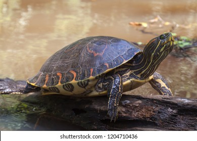 A Yellow-bellied slider Turtle (Trachemys scripta scripta) sleeping on a log in natural rainforest canal at Tortuguero National Park in Costa Rica, a land and water turtle belonging to family Emydidae
