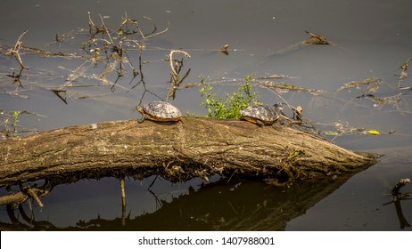 Yellow-bellied sliders, Trachemys scripta scripta, land and water turtles. Family Emydidae. Here basking in the river at San Rossore, Tuscany, Italy.