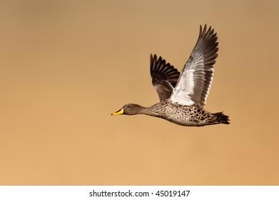 Yellowbilled duck in full flight; Anas undulata