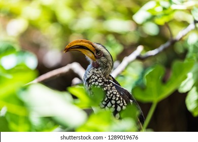 A Yellow-Billed Hornbill sitting on a brach between leaves