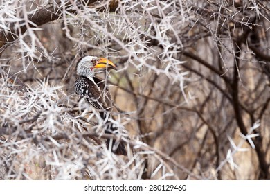 Yellow-billed Hornbill sitting on a branch and rest, Kamanjab, Namibia