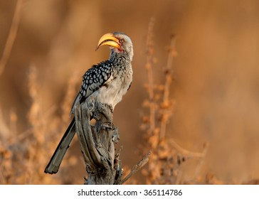 Yellow-billed hornbill Tockus flavirostris, adult  perched on dead branch in eye level. Large yellow beak,spotted feather, lit by evening sun,orange blurred background, Hwange NP, Zimbabwe.