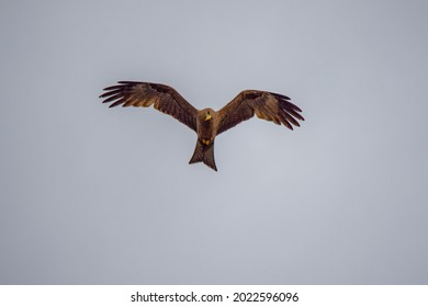 Yellow-billed Kite in the sky with wings wide spread