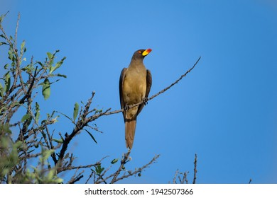 Yellow-billed oxpecker (Buphagus africanus) on the tree