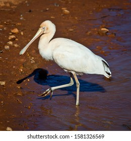 Yellow-billed spoonbill, Platalea flavipes, Large white australian bird searches shore of lake for food.