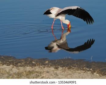 Yellow-Billed Stork Fishing, Botswana