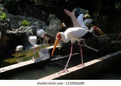Yellow-billed Stork in KL Birds Park