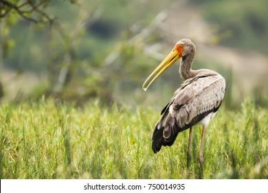 Yellow-billed stork (Mycteria ibis) juvenile.