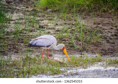 Yellow-billed stork on water shore