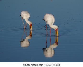Yellow-Billed Storks Fishing, Botswana