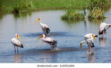 Yellow-billed Storks (Mycteria ibis) in the Amboseli National Park, Kenya
