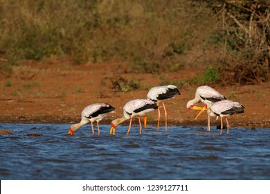 Yellow-billed storks (Mycteria ibis) foraging in shallow water, Kruger National Park, South Africa