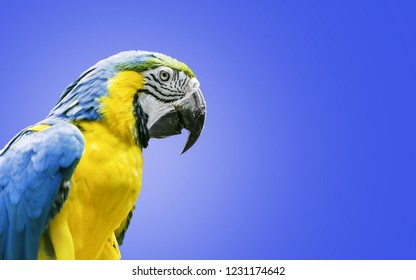 Yellow-blue macaw parrot