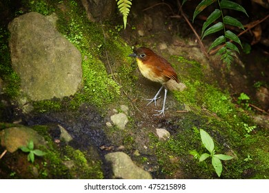 Yellow-breasted Antpitta,Grallaria flavotincta, small, very shy and hidden way living ground bird on the rocky bank of the forest stream. Ecuador, West Andes.