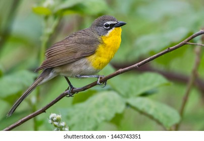 Yellow-breasted Chat (Icteria virens) on west coast