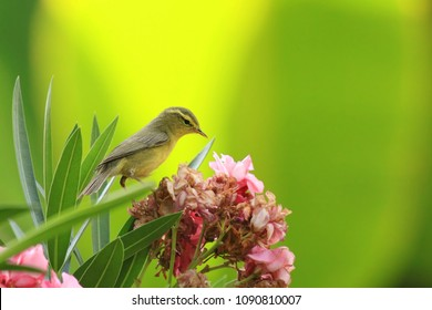 Yellow-browed Warbler resting on flower branch and drinking flower ingredients in Tadoba Tiger reserve