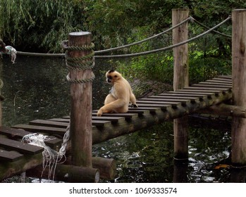 Yellow-cheeked gibbon on rope and wooden bridge over water