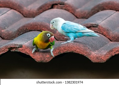 Yellow-collared Lovebird and Blue Masked Lovebird perching on roof tile