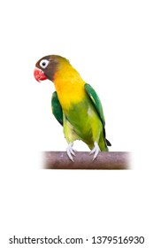 Yellow-collared Lovebird or Masked Lovebird perching on bar isolated on white background