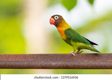 Yellow-collared Lovebird or Masked Lovebird perching on bar isolated on blur background