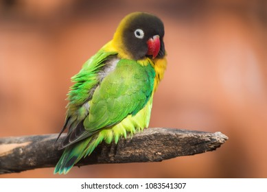 Yellow-collared lovebird on a branch