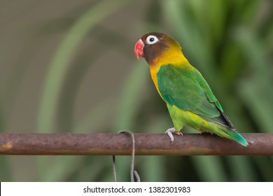 Yellow-collared Lovebird perching on iron bar isolated on blur background