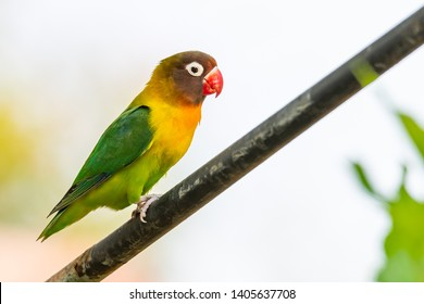 Yellow-collared Lovebird perching on iron bar isolated on white background