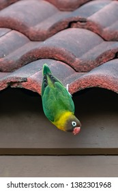 Yellow-collared Lovebird perching on roof tile while hanging head down