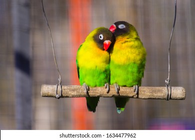 Yellow-collared Lovebirds (Agapornis personatus). Symbol of love.  Lovebird parrots sitting together.