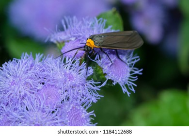 Yellow-collared Scape Moth collecting nectar from a purple flower. Rosetta McClain Gardens, Toronto, Ontario, Canada.