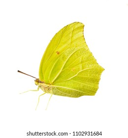 Yellow-colored male of the white angled-sulphur butterfly, Anteos clorinde, isolated on white background. Color saturated.