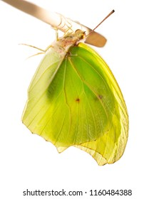 Yellow-colored male of the white angled-sulphur butterfly, Anteos clorinde, is drying its wings after hatching hanging upside down on a twig. Isolated on white background. Color saturated.