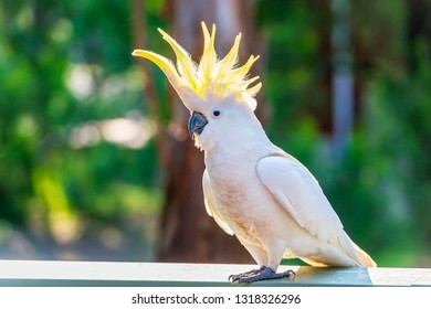 Yellow-crested cockatoo bird flaring the crest