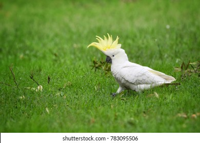 The yellow-crested cockatoo also known as the lesser sulphur-crested cockatoo, is a medium-sized cockatoo with white plumage and yellow crest.