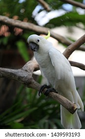 The yellow-crested cockatoo/the lesser sulphur-crested cockatoo, is a cockatoo with white plumage, bluish-white bare orbital skin, grey feet, a black bill, and a retractile yellow or orange crest