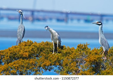 Yellow-crowned and Black-crowned Night Herons in Tree