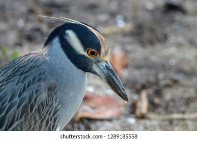 Yellow-crowned Night Heron Looking Down, isolated, closeup