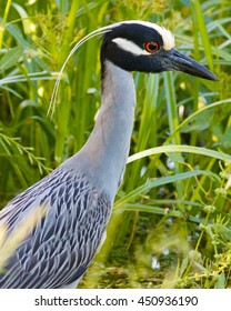 Yellow-crowned Night Heron looking into the distance