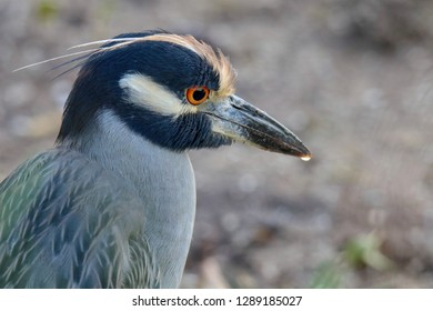 Yellow-crowned Night Heron Portrait, isolated, closeup