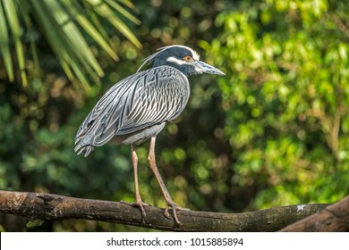 yellow-crowned night heron,Nyctanassa violacea is one of two species of night herons found in the US