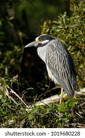 A Yellow-crowned Night-Heron perched in the Everglades National Park