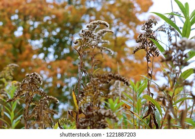 yellowed autumn grass, fluffy inflorescence of Ivan-tea plant
