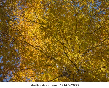 yellowed crown of hornbeam. abstract background