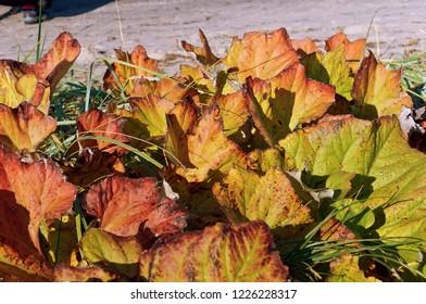 yellowed leaves in autumn, reddened plants in September