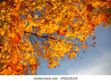 yellowed maple leaves on a blue sky background in autumn on a sunny day