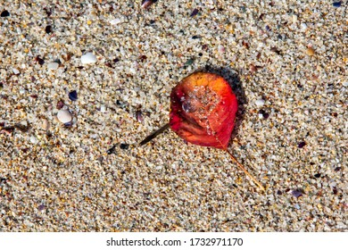 Yellowed red leaf and fallen into the sand of the beach.