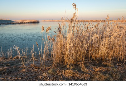 Yellowed reed stems ith seed heads in early morning sunlight. De photo was taken at the bank of a creek in the Dutch National Park Biesbosch on a sunny morning in the winter season.